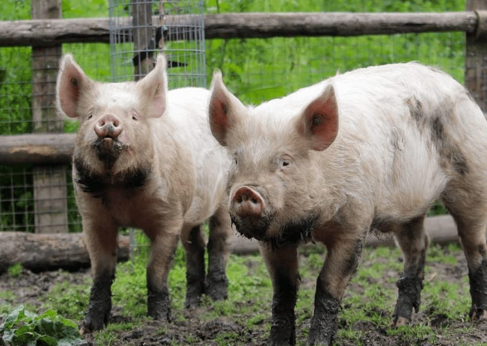 Pigs of Mudchute Park and Farm in Canary Wharf